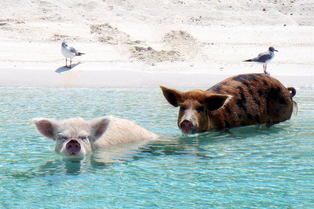 Zwei Schweine im Wasser