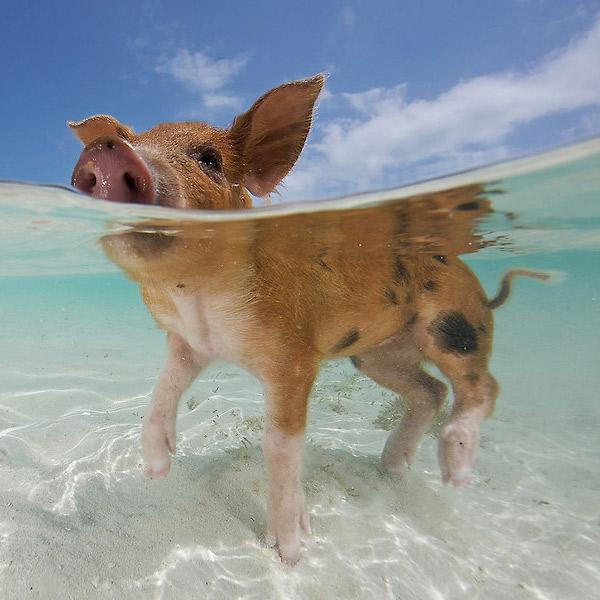 Schwein gehabt auf den Bahamas