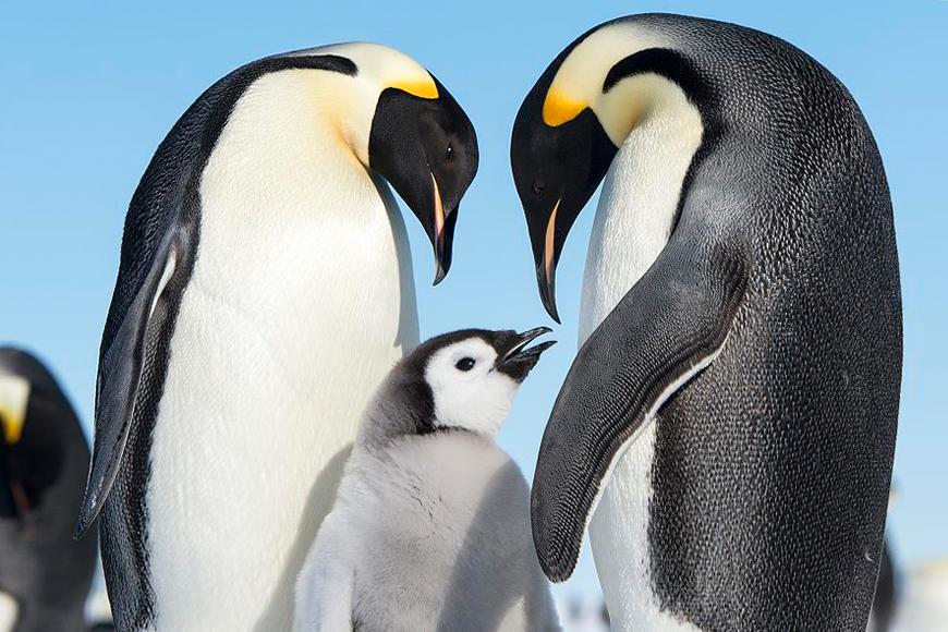 Pinguine: Kleine Helden mit großen Herzen