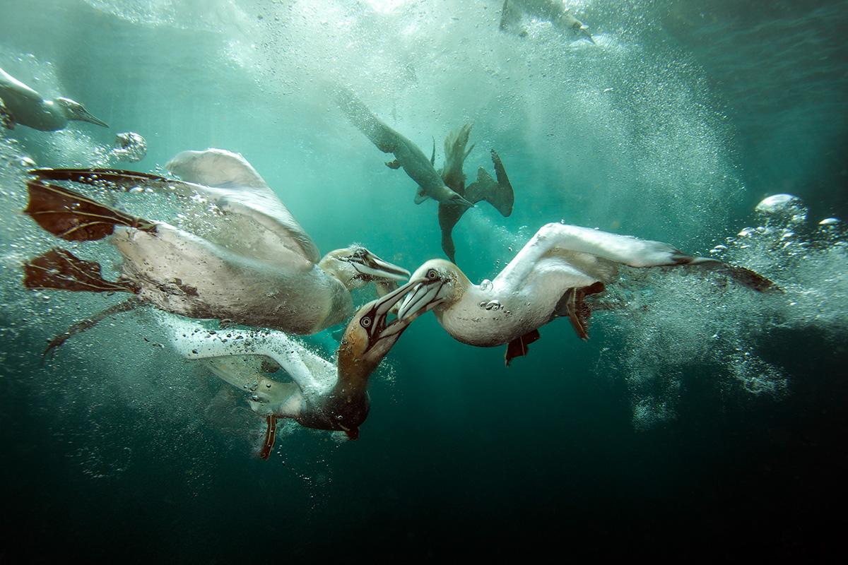 Bester britischer Beitrag: 'Gannets Feast' Matt Doggett (UK)